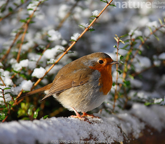 Robin (Erithacus rubecula) perched on snow-covered fence, feather fluffed up for warmth, Carmarthenshire, Wales, UK  ,  BIRDS,CHATS,EUROPE,GARDENS,SNOW,SONGBIRDS,THERMOREGULATION,UK,VERTEBRATES,WALES,WINTER,United Kingdom  ,  Dave Bevan