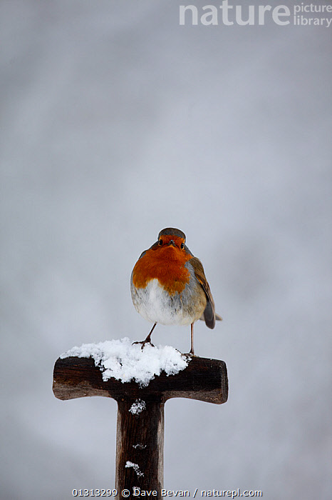 Robin (Erithacus rubecula) perching on fork handle in snow Carmarthenshire, Wales, UK  ,  BIRDS,CHATS,EUROPE,GARDENS,SNOW,SONGBIRDS,UK,VERTEBRATES,VERTICAL,WALES,WINTER,United Kingdom  ,  Dave Bevan