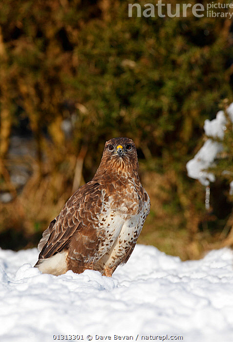 Common buzzard (Buteo buteo) in snow,  Carmarthenshire, Wales, UK  ,  BIRDS,BIRDS OF PREY,EUROPE,HAWKS,SNOW,UK,VERTEBRATES,VERTICAL,WALES,WINTER,United Kingdom  ,  Dave Bevan