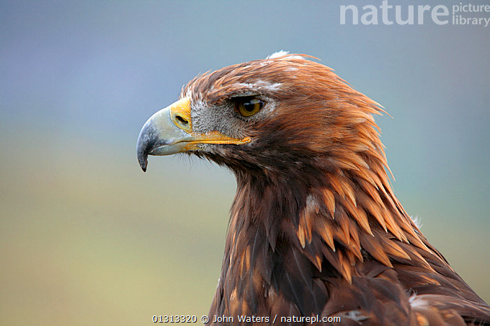 Golden eagle (Aquila chrysaetos) adult female portrait, trained bird photographed during filming in Glenveagh National Park, Donegal, Ireland. August 2010  ,  ACCIPITRIDAE,BIRDS,BIRDS OF PREY,EAGLES,EIRE,EUROPE,IRELAND,NP,PORTRAITS,PROFILE,RESERVE,VERTEBRATES,National Park,Raptor  ,  John Waters