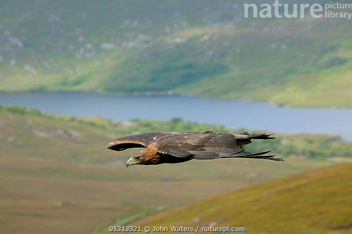 Golden eagle (Aquila chrysaetos) adult female in flight, trained bird photographed during filming in Glenveagh National Park, Donegal, Ireland. August 2010  ,  ACCIPITRIDAE,BIRDS,BIRDS OF PREY,EAGLES,EIRE,EUROPE,FLYING,IRELAND,LANDSCAPES,NP,RESERVE,VERTEBRATES,National Park,Raptor  ,  John Waters