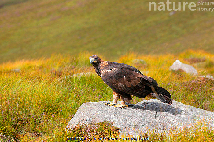 Golden eagle (Aquila chrysaetos) adult female perched on rock, trained bird photographed during filming in Glenveagh National Park, Donegal, Ireland. August 2010  ,  ACCIPITRIDAE,BIRDS,BIRDS OF PREY,EAGLES,EIRE,EUROPE,HABITAT,IRELAND,MOORLAND,NP,RESERVE,VERTEBRATES,National Park,Raptor  ,  John Waters