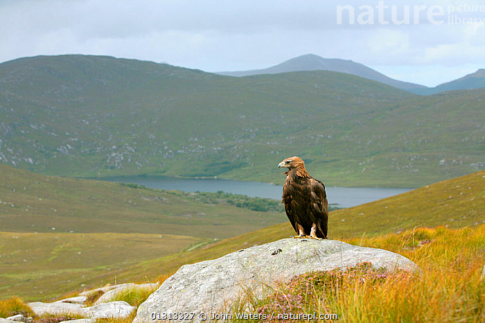Golden eagle (Aquila chrysaetos) adult female perched on rock in mountain landscape, trained bird photographed during filming in Glenveagh National Park, Donegal, Ireland. August 2010  ,  ACCIPITRIDAE,BIRDS,BIRDS OF PREY,EAGLES,EIRE,EUROPE,IRELAND,LANDSCAPES,NP,RESERVE,VERTEBRATES,National Park,Raptor  ,  John Waters