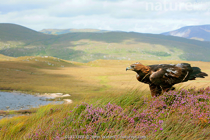 Golden eagle (Aquila chrysaetos) adult female perched on rock in mountain landscape, trained bird photographed during filming in Glenveagh National Park, Donegal, Ireland. August 2010  ,  ACCIPITRIDAE,BIRDS,BIRDS OF PREY,EAGLES,EIRE,EUROPE,IRELAND,LANDSCAPES,MOORLAND,NP,RESERVE,VERTEBRATES,National Park,Raptor  ,  John Waters