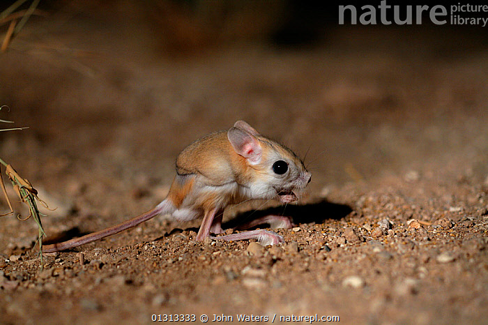 Lesser Egyptian jerboa (Jaculu jaculus) temporarily captive for photography in desert set, August, Qatar, Arabian Gulf.  ,  ARABIA,CAMOUFLAGE,DESERTS,DIPODIDAE,JERBOAS,MAMMALS,MIDDLE EAST,NIGHT,NOCTURNAL,RODENTS,VERTEBRATES,Muridae  ,  John Waters