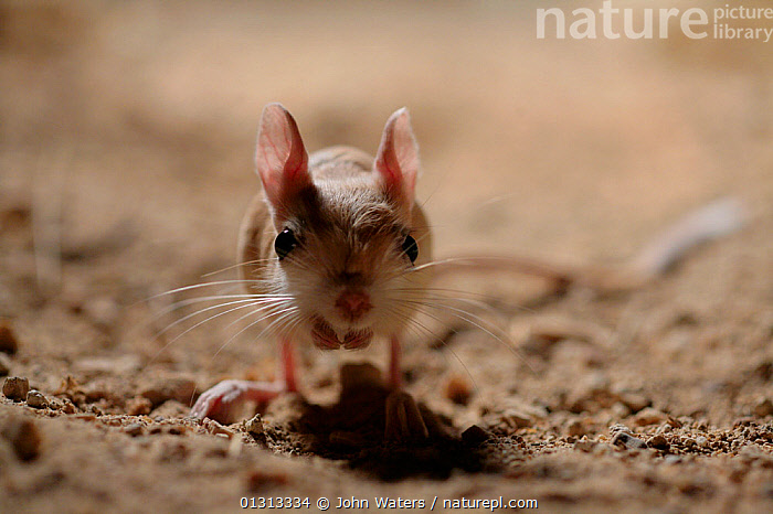 Lesser Egyptian jerboa (Jaculu jaculus) temporarily captive for photography in desert set, August, Qatar, Arabian Gulf.  ,  ARABIA,CUTE,DESERTS,DIPODIDAE,JERBOAS,MAMMALS,MIDDLE EAST,NIGHT,NOCTURNAL,RODENTS,VERTEBRATES,WHISKERS,Muridae  ,  John Waters