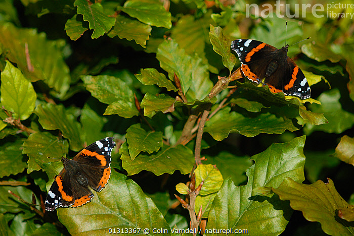 Two Red Admiral butterflies (Vanessa atlanta)sunning on Beech (Fagus) hedge. Dorset, UK October  ,  ARTHROPODS,BUTTERFLIES,ENGLAND,FAGUS SP ,HEDGEROWS,INSECTS,INVERTEBRATES,LEPIDOPTERA,RED,UK,Europe,United Kingdom  ,  Colin Varndell
