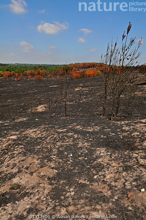 Aftermath of heathland fire on Frensham Common, Surrey, England, UK. July 2010  ,  BURNT,DESTRUCTION,ENVIRONMENTAL,EUROPE,FIRE,HABITAT,HEATHLAND,LANDSCAPES,UK,VERTICAL,United Kingdom  ,  Adrian Davies