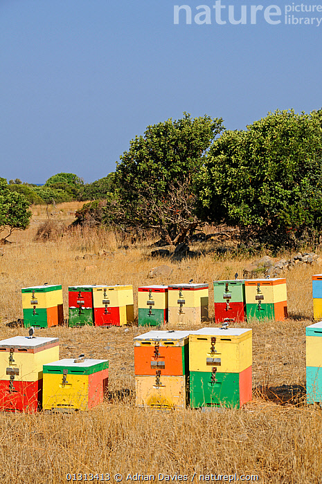 Colourful Honey bee (Apis mellifera) hives in fields, Crete, Greece. July 2010  ,  ARTHROPODS,BEE KEEPING,BEES,COLOURFUL,CULTIVATION,GREECE,HYMENOPTERA,INSECTS,INVERTEBRATES,VERTICAL,Europe ,honeybee,honeybees  ,  Adrian Davies