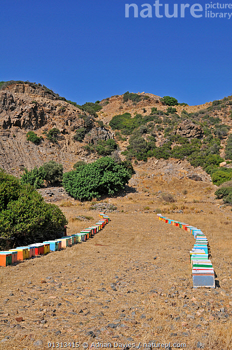 Colourful Honey bee (Apis mellifera) hives in fields, with mountainous landscape behind, Crete, Greece. July 2010  ,  ARTHROPODS,BEE KEEPING,BEES,COLOURFUL,CULTIVATION,GREECE,HYMENOPTERA,INSECTS,INVERTEBRATES,MOUNTAINS,VERTICAL,Europe ,honeybee,honeybees  ,  Adrian Davies