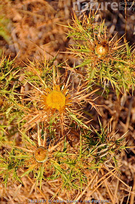 Flat-Topped Carline Thistle: (Carlina corymbus sp.) flowering, Crete, Greece. July (Endemic to Crete)  ,  ASTERACEAE,COMPOSITAE,DICOTYLEDONS,ENDEMIC,FLOWERS,PLANTS,SUMMER,VERTICAL,YELLOW  ,  Adrian Davies