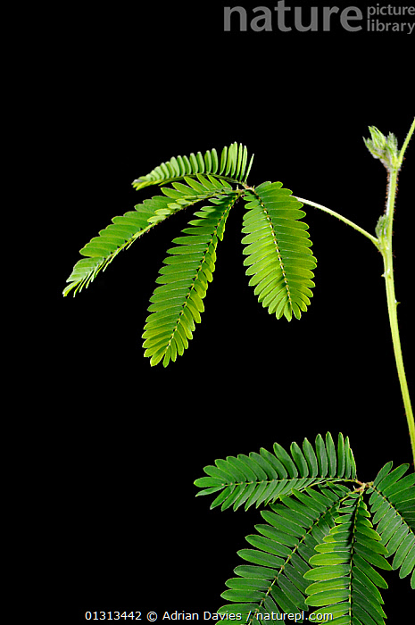 Sensitive Plant (Mimosa pudica) showing leaflets before touching. Sequence 1/2  ,  Collapse, DICOTYLEDONS, FABACEAE, irritation, LEGUME, MOVEMENT, pantropical, plant, PLANTS, SEQUENCE, VERTICAL, WEEDS  ,  Adrian Davies