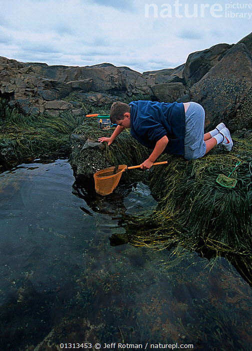 Boy (nine years) exploring tidepool with nets, Plum Cove, Gloucester, Massachusetts, USA Model released Model released.  ,  BOY,CHILDREN,COASTS,INTERTIDAL,LANDSCAPES,MARINE,NORTH AMERICA,PEOPLE,ROCKS,SEAWEEDS,TIDEPOOLS,USA,VERTICAL,core collection xtwox  ,  Jeff Rotman