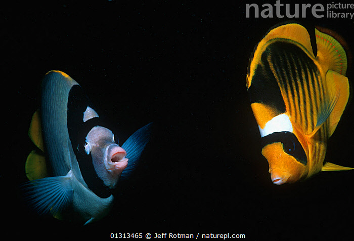 Threadfin butterflyfish (Chaetodon auriga) and Striped butterflyfish (Chaetodon fasciatus) Sinai Peninsula, Red Sea, Egypt  ,  AFRICA,BUTTERFLYFISH,CHAETODONTIDAE,EGYPT,FISH,MARINE,MIXED SPECIES,OSTEICHTHYES,RED SEA,STRIPES,TROPICAL,TWO,UNDERWATER,VERTEBRATES  ,  Jeff Rotman