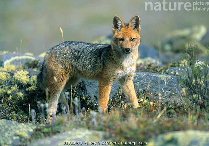 Culpeo / Andean fox (Pseudalopex culpaeus) wild, 3300m, Cotopaxi NP, Andes, Ecuador.  ,  ANDEAN RED FOX,CANIDS,CARNIVORES,DUSICYON CULPAEUS,FOXES,HIGHLANDS,MAMMALS,NP,PATAGONIAN FOX,RESERVE,SOUTH AMERICA,VERTEBRATES,National Park,Dogs  ,  Kevin Schafer