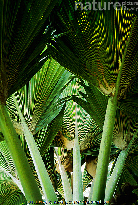 Leaves of the Coco-de-Mer palm tree (Lodoicea maldivica) Valle de Mai, Praslin Island, Seychelles.  ,  ARECACEAE,FRONDS,INDIAN OCEAN ISLANDS,LEAVES,MONOCOTYLEDONS,PALMS,PLANTS,VERTICAL  ,  Kevin Schafer