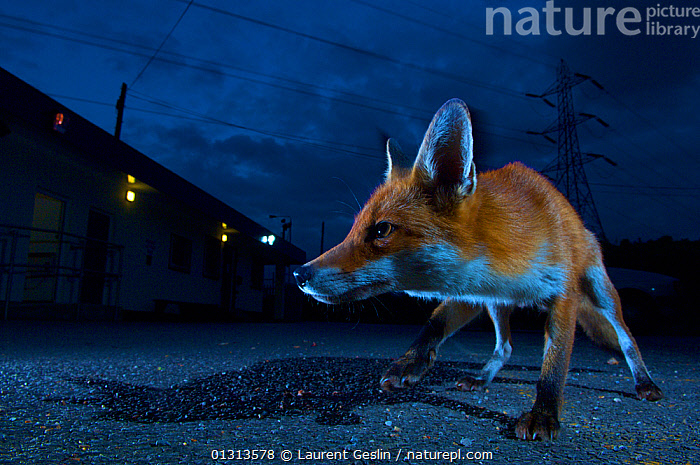 Urban fox (Vulpes vulpes) portrait in suburban street at night, London, England.  ,  alert,animal ears,animal head,BOOK FRONT COVER,BUILDINGS,CANIDS,CARNIVORES,CATALOGUE2F,cunning,danger,dark,EARS,electricity pylon,ENGLAND,FOXES,front view,full length,HEADS,houses,ILLUMINATED,lit up,london,Low angle,MAMMALS,menacing,nature,NIGHT,Nobody,one animal,outdoors,PORTRAITS,ROADS,shadows,SKY,STANDING,street,streets,suburban,Tarmac,Threats,UK,URBAN,VERTEBRATES,Wary,WILDLIFE,Europe,United Kingdom,Dogs  ,  Laurent Geslin