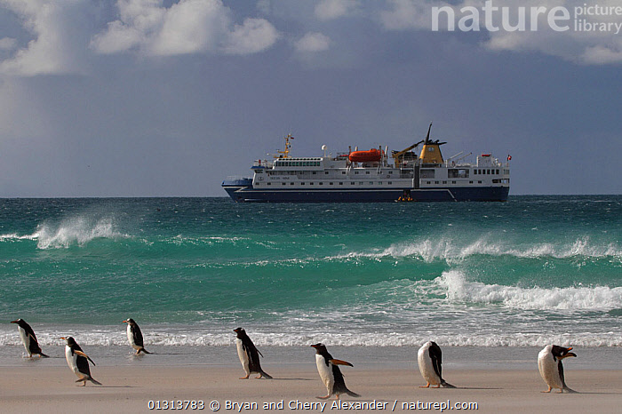 """Gentoo penguins (Pygoscelis papua) in blowing sand with the """"Ocean Nova"""" anchored beyond. Saunders Island, Falkland Islands, 2009.  ,  ATLANTIC OCEAN,BIRDS,BOATS,COASTS,CRUISE LINERS ,FALKLAND ISLANDS,FLIGHTLESS,MOORED,PENGUINS,SEABIRDS,SPRAY,WIND,WORKING BOATS,BEACHED,ECOTOURISM,LANDSCAPES,PROFILE,SOUTH ATLANTIC ISLANDS,SOUTH AMERICA,TOURISM,VERTEBRATES,WAVES,SOUTH-AMERICA,Weather  ,  Bryan and Cherry Alexander"""