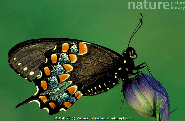 Spicebush Swallowtail Butterfly (Papilio troilus), Family Papilionidae, Ohio, USA.  ,  animal,animals,arthropod,ARTHROPODS,BUTTERFLIES,butterfly,entomology,INSECTS,INVERTEBRATES,LEPIDOPTERA,Leroy,Ohio,Papilio,papilionid,PAPILIONIDAE,papilionids,simon,Spicebush,swallowtail,swallowtails,troilus,USA,vis900631,North America  ,  Visuals Unlimited