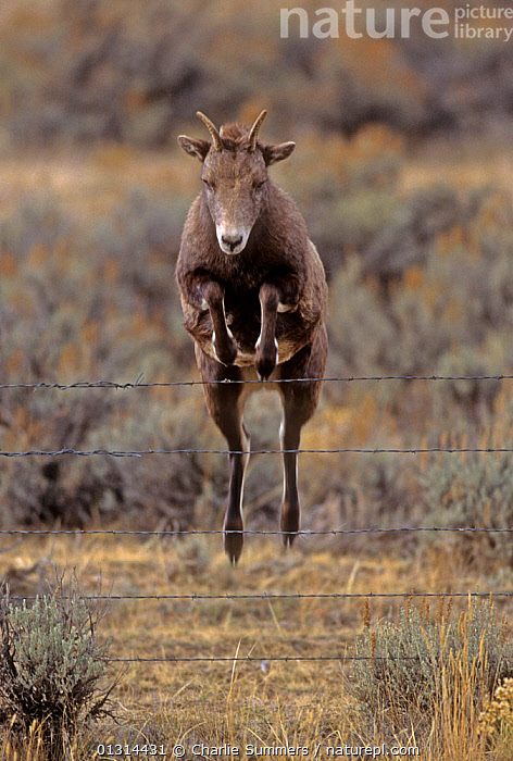 Rocky Mountain Bighorn sheep (Ovis canadensis) female jumping barbed wire fence, Montana, USA, ACTION,agility,ARTIODACTYLA,barbed wire,BOVIDS,catalogue3,DETERMINATION,female animal,FEMALES,fence,fences,front view,full length,JUMPING,LEAPING,MAMMALS,man made,mid air,montana,Nobody,one animal,outdoors,rockies,SHEEP,USA,VERTEBRATES,VERTICAL,WILDLIFE,North America,Goats,Antelopes, Charlie Summers