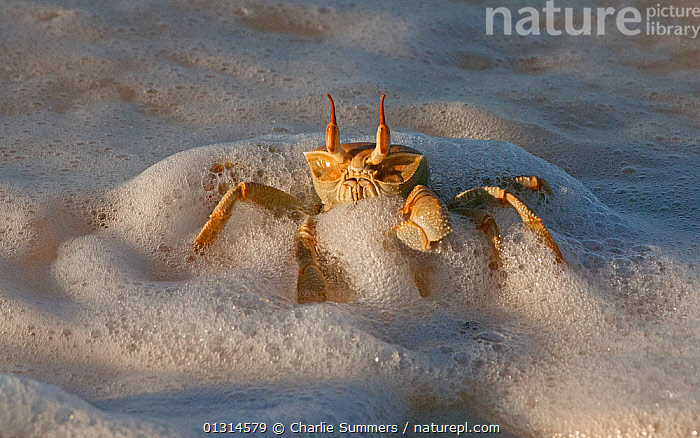 Horn-eyed Ghost Crab (Ocypode ceratophthalma) in the edge of the surf on a Cocos-Keeling Island beach, Australian external territory in the Indian Ocean.  ,  ARTHROPODS, AUSTRALIA, BEACHES, COASTS, CRABS, CRUSTACEANS, GHOST-CRABS, INVERTEBRATES, ISLANDS, OCEANS, shoreline, Surf, WATER, WAVES  ,  Charlie Summers