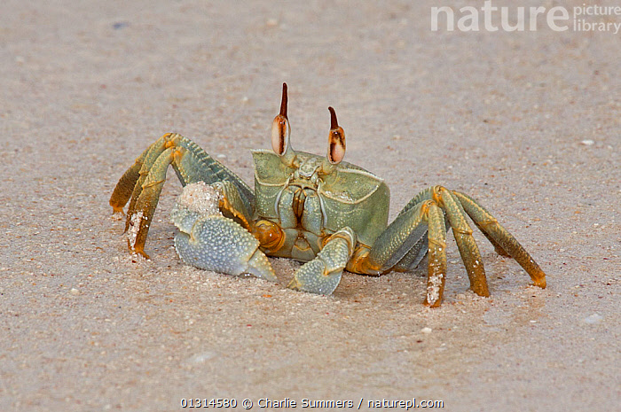 Horn-eyed Ghost Crab (Ocypode ceratopthalma)  on a Cocos-Keeling Island beach, Australian external territory in the Indian Ocean.  ,  ARTHROPODS, AUSTRALIA, BEACHES, COASTS, CRABS, CRUSTACEANS, GHOST-CRABS, INVERTEBRATES, ISLANDS, PORTRAITS  ,  Charlie Summers