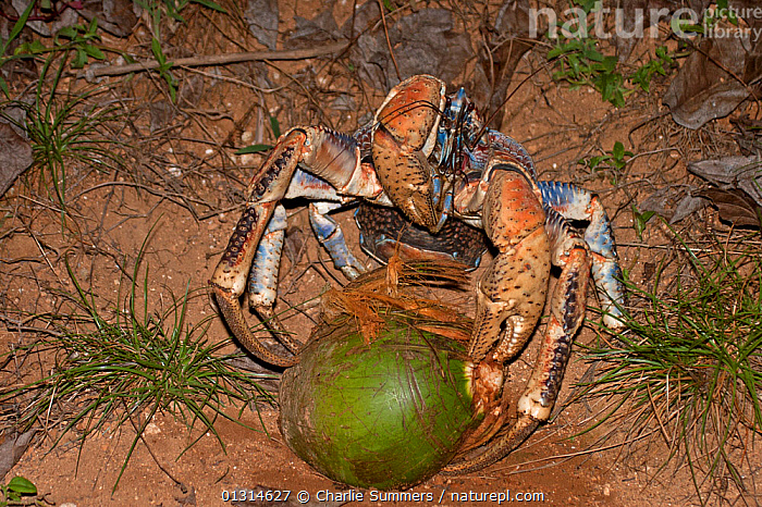 Nature Picture Library Robber Coconut Crab Birgus Latro