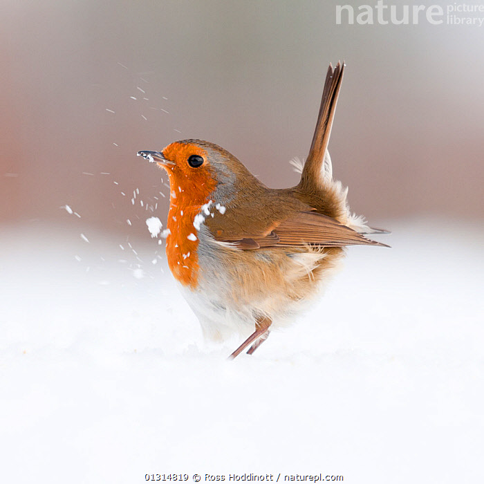 Robin (Erithacus rubecula) displaying in snow, nr Bradworthy, Devon, UK. December 2010,  HIGHLY COMMENDED, ANIMAL PORTRAITS, 2011 WILDLIFE PHOTOGRAPHER OF THE YEAR COMPETITION, BEHAVIOUR,BIRDS,CHATS,COLD,DISPLAY,EUROPE,SNOW,UK,VERTEBRATES,VERTICAL,WINTER,Communication,United Kingdom, Ross Hoddinott