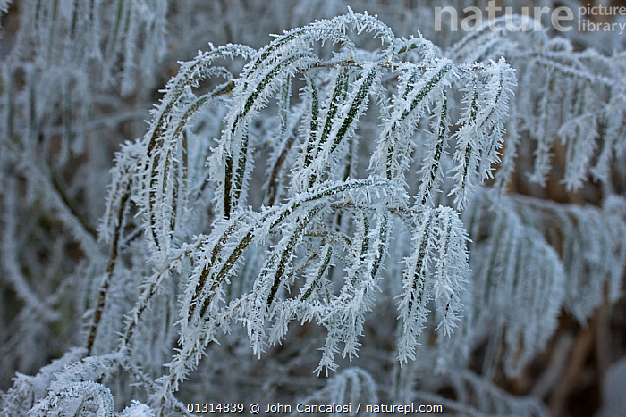 Osier stems (Salix viminalis) covered in hoar frost, Warwickshire, England, UK  ,  ABSTRACT,DICOTYLEDONS,FROST,PLANTS,SALICACEAE,UK,WINTER,Europe,Weather,United Kingdom  ,  John Cancalosi