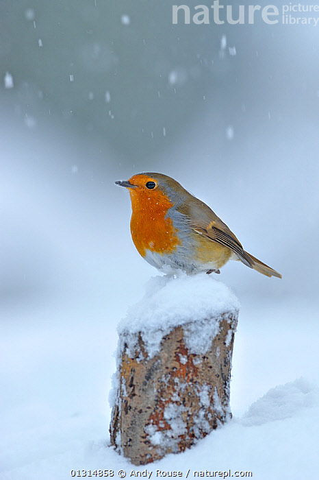 European Robin (Erithacus rubecula) perched on tree stump in garden with snow falling, Wales, UK. December, BIRDS,CHATS,GARDENS,SNOW,SNOWING,SONGBIRDS,UK,VERTEBRATES,WALES,WEATHER,WINTER,Europe,United Kingdom, Andy Rouse