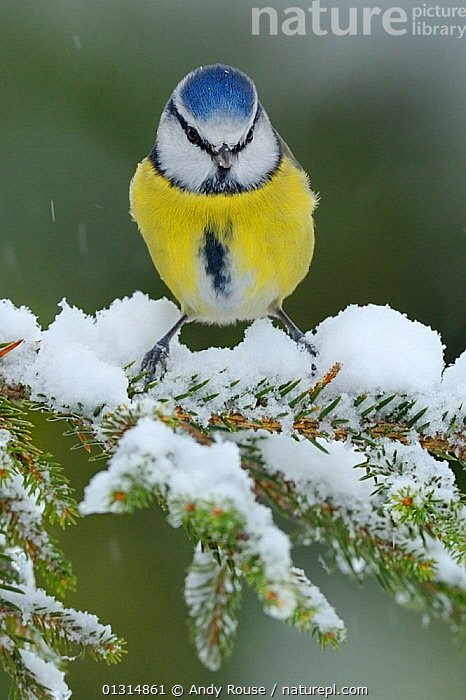 Blue Tit (Cyanistes caeruleus) perched on snow covered Fir tree (Abies) branch, in a garden, Wales, UK December, ABIES GENUS ,BIRDS,GARDENS,PORTRAITS,SNOW,snowing,songbirds,TITS,UK,VERTEBRATES,WALES,WEATHER,WINTER,Europe,United Kingdom, Andy Rouse