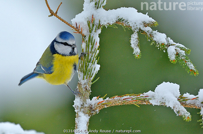 Blue Tit (Cyanistes caeruleus) perched on snow covered Fir tree (Abies) branch, in a garden, Wales, UK December  ,  ABIES GENUS ,BIRDS,GARDENS,SNOW,songbirds,TITS,UK,VERTEBRATES,WALES,WEATHER,WINTER,Europe,United Kingdom  ,  Andy Rouse