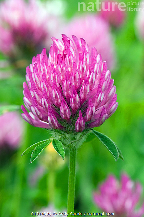 Red Clover (Trifolium pratense) close up of flower, Upper Teesdale, County Durham, England.  England, UK, June, bright colour,catalogue3,close up,CLOSE UPS,County Durham,DICOTYLEDONS,differential focus,ENGLAND,FABACEAE,flower head,FLOWERS,focus on foreground,LEGUME,nature,Nobody,outdoors,PINK,plant portrait,PLANTS,selective focus,UK,Upper Teesdale,VERTICAL,Europe,United Kingdom, Andy Sands