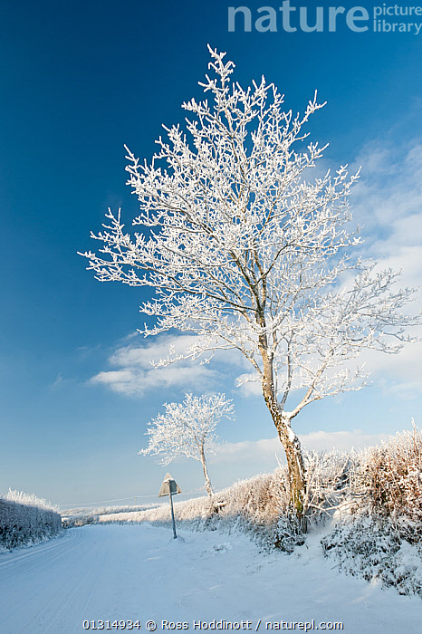 Tree and road sign in the snow, icy, wintry roads, early morning light, nr Bradworthy, Devon, UK. December 2010, BLUE,COLD,COUNTRYSIDE,DAWN,EUROPE,FROST,LANDSCAPES,ROADS,SIGNS,SNOW,TREES,UK,VERTICAL,WINTER,Weather,PLANTS,United Kingdom, Ross Hoddinott