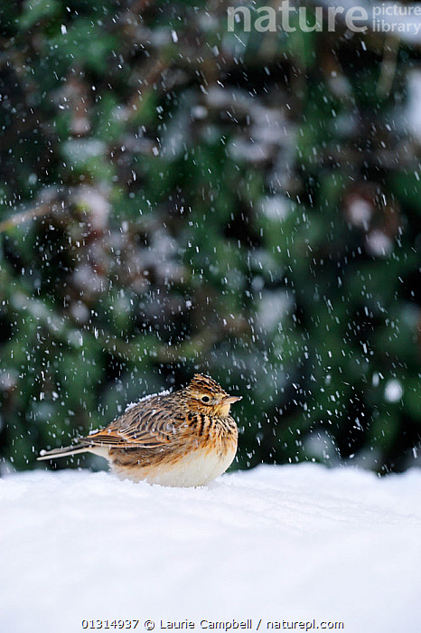 Skylark (Alauda arvensis) attracted to feed below seed feeders in a garden after heavy snowfall covering its naturally occuring food supply, Berwickshire. Scotland, December 2010, BEHAVIOUR,BIRDS,COLD,EUROPE,FEEDERS,GARDENS,LARKS,SCOTLAND,SNOWING,UK,VERTEBRATES,VERTICAL,WINTER,United Kingdom, Laurie Campbell