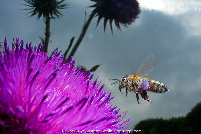 Honey bee (Apis mellifera) hovering over a purple flower. Paris, France  ,  ARTHROPODS,BEES,bright colour,BUILDINGS,catalogue3F,CITIES,close up,CLOSE UPS,consideration,contemplation,EUROPE,flowerhead,FLOWERS,FLYING,FRANCE,HYMENOPTERA,INSECTS,INVERTEBRATES,nature,Nobody,one animal,outdoors,paris,POLLINATION,PURPLE,URBAN,WILDLIFE ,honeybee,honeybees  ,  Laurent Geslin