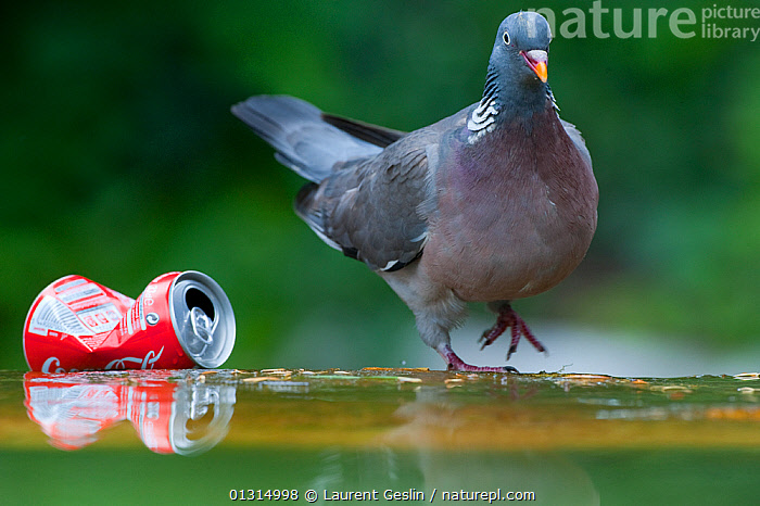Wood pigeon (Columba palumbus) standing by a discarded coke can in Paris, France, BIRDS,BUILDINGS,CITIES,COLUMBIFORMES,DOVES,ENVIRONMENTAL,EUROPE,FRANCE,URBAN,VERTEBRATES,WOODPIGEON,Pigeons,CATALOGUE3F, Laurent Geslin