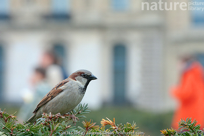 Male Common Sparrow (Passer domesticus) perched in Yew (Taxus baccata) hedge, in an urban park, Paris, France, April  ,  BIRDS,BUILDINGS,CITIES,COMMON YEW TREE,EUROPE,FRANCE,HOUSE SPARROW,MALES,PARKS,SPARROWS,URBAN,VERTEBRATES  ,  Laurent Geslin