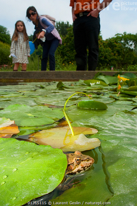 European edible frog (Rana esculenta) in urban pond with lily pads, and people observing, Paris, France, June 2010, AMPHIBIANS, Anura, Caucasian, CITIES, EUROPE, FRANCE, FROGS, Parks, PEOPLE, PONDS, URBAN, VERTEBRATES, VERTICAL, Laurent Geslin