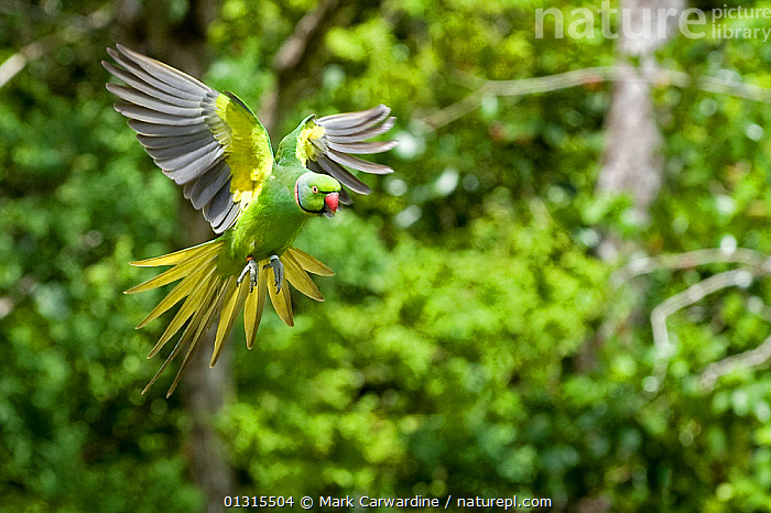 Mauritius / Mascarene / Echo parakeet (Psittacula eques) flying, threatened / endangered species, Black River Gorges, Mauritius, Indian Ocean, wild  ,  animals in the wild,Balance,BIRDS,Black river Gorges,CAMOUFLAGE,catalogue3,CONCENTRATION,differential focus,ECHO PARAKEET,ENDANGERED,flight,FLYING,focus on foreground,GREEN,green colour,Indian Ocean,INDIAN OCEAN ISLANDS,mauritius,Nobody,one animal,outdoors,PARAKEETS,PARROTS,PSITTACULA ECHO,rainforest,selective focus,tail feather,VERTEBRATES,WILDLIFE,wings spread,YELLOW  ,  Mark Carwardine