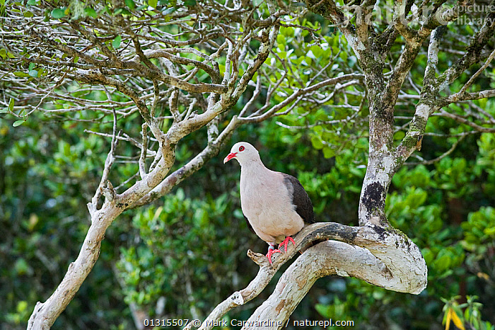 Pink pigeon (Columba / Nesoenas mayeri) threatened / endangered species, Black River Gorges, Mauritius, Indian Ocean, wild, BIRDS,COLUMBIFORMES,DOVES,ENDANGERED,HABITAT,INDIAN OCEAN ISLANDS,MAURITIUS,VERTEBRATES,Pigeons, Mark Carwardine