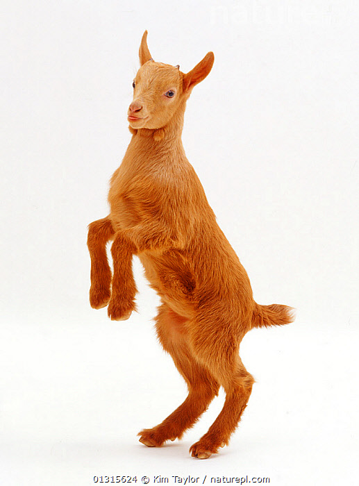 Pygmy x Golden Guernsey female goat kid, standing on hind legs.  ,  playing,ARTIODACTYLA,Balance,begging,BOVIDS,BROWN,catalogue3,close up,CLOSE UPS,CUTE,CUTOUT,female animal,FEMALES,GOATS,hind legs,JUMPING,JUVENILE,kid goat,LIVESTOCK,MAMMALS,one animal,performance,playing,PORTRAITS,rear legs,STANDING,Studio,studio shot,VERTEBRATES,white background,YOUNG,young animal  ,  Kim Taylor