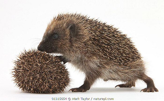 Two young Hedgehogs (Erinaceus europaeus) one standing, one rolled into a ball.  ,  CUTOUT,DEFENSIVE,HEDGEHOGS,INSECTIVORES,JUVENILE,MAMMALS,playing,PORTRAITS,STANDING,Studio,VERTEBRATES,Behaviour  ,  Mark Taylor