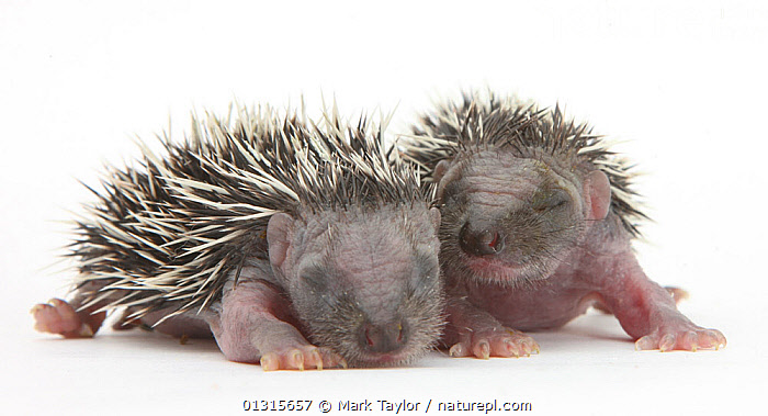 Two baby Hedgehogs (Erinaceus europaeus) portrait, helpless and with eyes shut.  ,  BABIES,catalogue3,close up,CLOSE UPS,CUTE,CUTOUT,EYES,eyes shut,HEDGEHOGS,HELPLESS,INSECTIVORES,MAMMALS,PORTRAITS,side by side,SLEEPING,Studio,studio shot,two animals,VERTEBRATES,Vulnerable,white background,YOUNG,young animal  ,  Mark Taylor