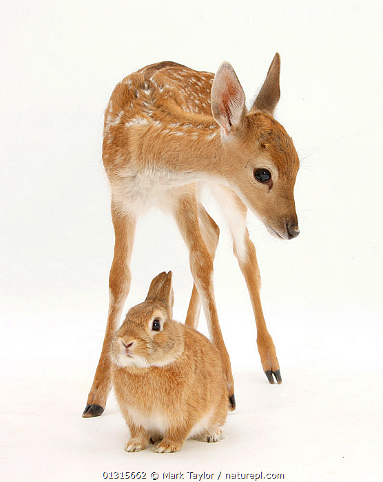 Fallow Deer (Dama dama) portrait of fawn standing over a Sandy Netherland-cross rabbit. NOT AVAILABLE FOR BOOK USE, BABIES,CUTOUT,JUVENILE,MIXED SPECIES,Oryctolagus,PORTRAITS,Studio,VERTICAL, Mark Taylor