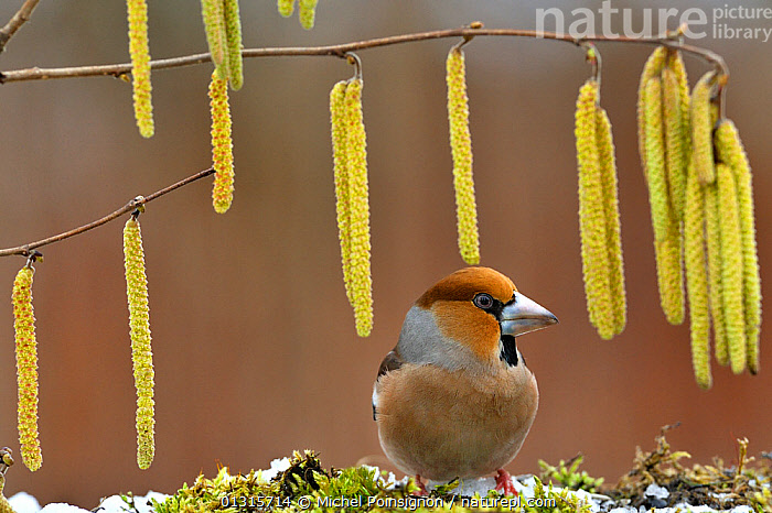 Hawfinch (Coccothraustes coccothraustes) and Hazel catkins, Lorraine, France, February  ,  BIRDS,EUROPE,FINCHES,FLOWERS,FRANCE,SONGBIRDS,SPRING,VERTEBRATES  ,  Michel Poinsignon