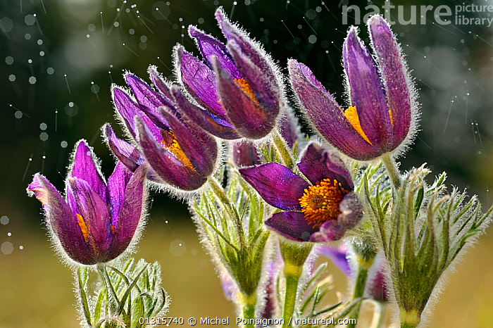 Pasque flowers (Pulsatilla vulgaris) in rain, Lorraine, France, April. 3rd Prize in the Other Nature Topics category of Melvita Nature Images Awards 2013.  ,  Anemone,DICOTYLEDONS,EUROPE,FLOWERS,FRANCE,GROUPS,PLANTS,PURPLE,RAIN,RAINING,RANUNCULACEAE high1314,PULSATILLA VULGARIS,Plant,Vascular plant,Flowering plant,Dicot,European pasque flower,Plantae,Plant,Tracheophyta,Vascular plant,Magnoliopsida,Flowering plant,Angiosperm,Seed plant,Spermatophyte,Spermatophytina,Angiospermae,Ranunculales,Dicot,Dicotyledon,Ranunculanae,Ranunculaceae,Pulsatilla,Pulsatilla vulgaris,European pasque flower,European pasqueflower,Pasque flower,Common pasque flower,Dane's blood,Anemone pulsatilla,Reaching,Reach,Reaches,Growth,Grow,Growing,Grows,Magic,Magical,Colour,Purple,Group,Medium Group,Nobody,Europe,Western Europe,France,Lorraine,Close Up,Flower,Weather,Raining,Rain,Outdoors,Open Air,Outside,Day,Nature,Natural,Natural World,Flowerhead,Five Objects  ,  Michel  Poinsignon