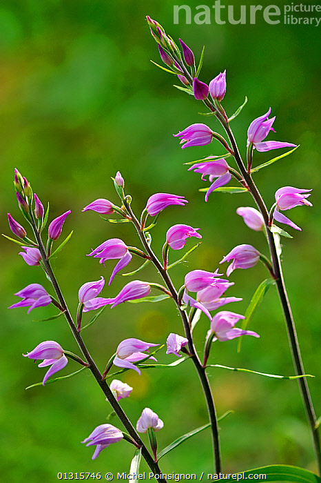 Red helleborine (Cephalanthera rubra) in flower, Lorraine, France, June  ,  blossom,catalogue3,close up,CLOSE UPS,EUROPE,flowering,FLOWERS,fragility,FRANCE,in flower,June,Lorraine,MONOCOTYLEDONS,nature,Nobody,ORCHIDACEAE,orchids,outdoors,PLANTS,pretty,PURPLE,three objects,VERTICAL  ,  Michel Poinsignon