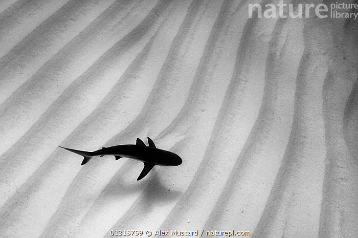 A lone Caribbean reef shark (Carcharhinus perezi) cruises over sand ripples. Walkers Cay, Northern Bahama Islands, Republic of Bahamas., ALONE, bahamas, BLACK, Carcharhindidae, CARIBBEAN, CATALOGUE2, CHONDRICHTHYES, contrasts, DANGEROUS, DRAMATIC, elevated view, FISH, HIGH-ANGLE-SHOT, MARINE, menacing, natural pattern, nature, Nobody, on the move, one animal, PATTERNS, rippled, sand, seabed, SEALIFE, SHARKS, Silence, SILHOUETTES, SWIMMING, Threats, TROPICAL, UNDERWATER, VERTEBRATES, Walkers Cay, WATER, WHITE, white colour, WILDLIFE,West Indies,CONCEPTS, Alex Mustard