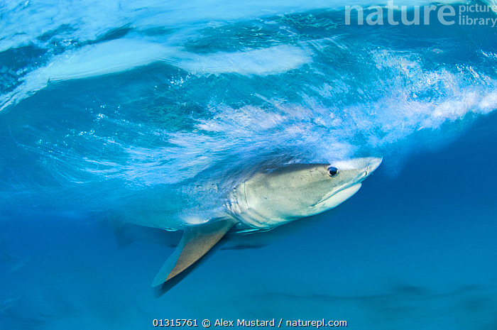 Long exposure image of Tiger shark (Galeocerdo cuvier) chasing bait, Bahamas., ACTION,animal head,ATLANTIC,bahamas,bait,BLUE,Carcharhindidae,CARCHARHINIFORMES,CATALOGUE2,chasing,CHONDRICHTHYES,downturned mouth,EXPRESSIONS,facial expression,FISH,HEADS,HUNTING,long exposure,MARINE,nature,on the move,one animal,PREDATION,SEALIFE,SHARKS,SPEED,TROPICAL,TURQUOISE,UNDERWATER,VERTEBRATES,WATER,Behaviour, Alex Mustard